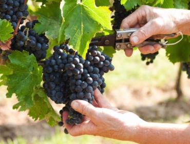 Le raisin : meilleur allié du sportif en septembre ?